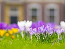 Um grupo do açafrão violeta Imagem de Stock