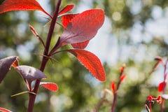 Um grupo do arbusto da bérberis com as folhas brilhantes vermelhas e os espinhos afiados com luz do bokeh em um parque no verão foto de stock royalty free