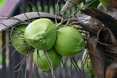 Um grupo do coco verde que pendura da palma Fotografia de Stock