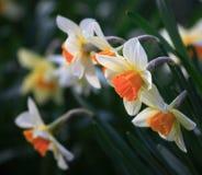 Um grupo do daffodil Foto de Stock Royalty Free