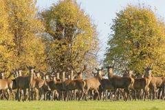 Um grupo dos cervos masculinos e fêmeas durante o cio Imagens de Stock Royalty Free