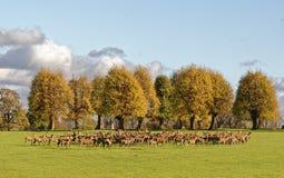 Um grupo dos cervos masculinos e fêmeas durante o cio Fotos de Stock Royalty Free
