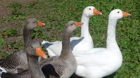 Um grupo dos gansos brancos e cinzentos em um prado Fotografia de Stock Royalty Free