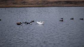 Um grupo dos patos que nadam no lago Imagens de Stock