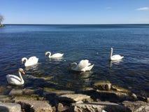 Um grupo inteiro das cisnes no Lago Ontário foto de stock
