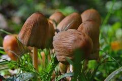 Um grupo pequeno de cogumelos marrons na grama fotografia de stock