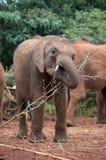 Um grupo pequeno de elefantes novos, um que mastiga na vara Fotografia de Stock