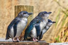 Um grupo poucos pinguins azuis/feericamente, o pinguim o menor do ` dos mundos fotografia de stock