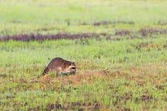 Um guaxinim que forrageia para o café da manhã nas horas adiantadas da manhã na reserva natural calva do botão imagem de stock