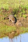 Um guaxinim que forrageia para o café da manhã nas horas adiantadas da manhã na reserva natural calva do botão fotografia de stock royalty free
