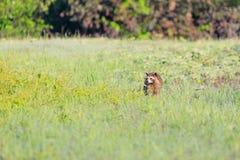 Um guaxinim que forrageia para o café da manhã nas horas adiantadas da manhã na reserva natural calva do botão foto de stock