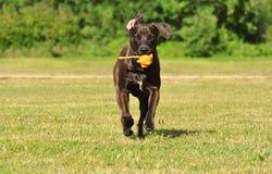 Um híbrido Staffordshire Terrier americano Fotografia de Stock Royalty Free