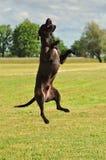 Um híbrido Staffordshire Terrier americano aprecia o verão Imagem de Stock Royalty Free