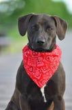Um híbrido Staffordshire Terrier americano no verão Fotos de Stock Royalty Free