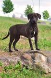 Um híbrido Staffordshire Terrier americano no verão Foto de Stock Royalty Free