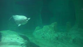 Um habitat da baleia da beluga filme