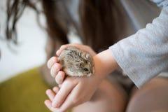 Um hamster adorável que rasteja ao redor no mãos das meninas fotos de stock
