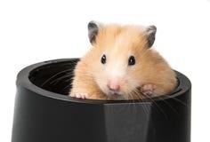 Um hamster pequeno bonito Fotografia de Stock Royalty Free