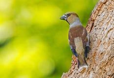Um Hawfinch fêmea Imagens de Stock