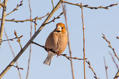 Hawfinch que senta-se na madeira imagens de stock royalty free