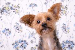 Um headshot bonito do yorkshire terrier Imagens de Stock Royalty Free