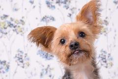 Um headshot bonito do yorkshire terrier Imagem de Stock
