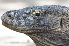 Um headshot de um dragão de Komodo Fotografia de Stock Royalty Free