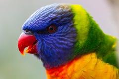 Um headshot de um lorikeet do arco-íris em Lithgow Novo Gales do Sul em 1 Foto de Stock Royalty Free