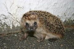 Um hedgehog fotografia de stock