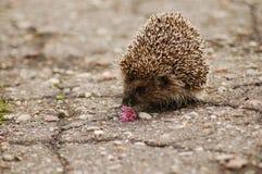Um hedgehog Foto de Stock