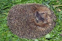 Um hedgehog Imagem de Stock Royalty Free