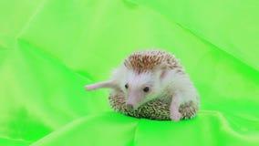 Um hedgehog bonito video estoque