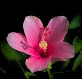 Um hibiscus cor-de-rosa Imagem de Stock