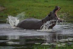 Um hipopótamo não divertido em um waterhole em Botswana Imagens de Stock