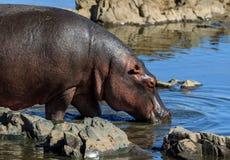 Um hipopótamo na borda de um rio foto de stock royalty free