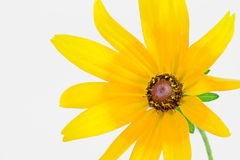 Um hirta do Rudbeckia Fotos de Stock