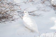 Um homem Branco-atado do lagópode dos Alpes que come de Bush em um prado nevado da montanha imagem de stock royalty free
