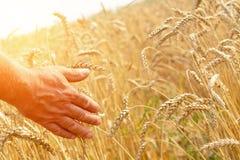 Um homem com o o seu de volta ao visor em um campo de trigo tocado pela mão dos pontos na luz do por do sol O conceito de Fotografia de Stock