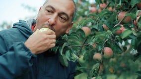Um homem come avidamente Apple vermelho no pomar de Apple video estoque