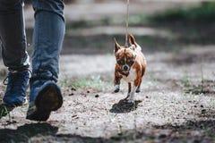 Um homem conduz um cão pequeno da raça da chihuahua em uma trela O cão vai perto dos pés Fotos de Stock Royalty Free