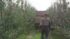 Um homem derrama uma cubeta das maçãs em caixas de madeira video estoque