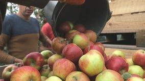Um homem derrama uma cubeta das maçãs em caixas de madeira vídeos de arquivo