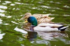 Um homem e um pato fêmea do pato selvagem foto de stock royalty free