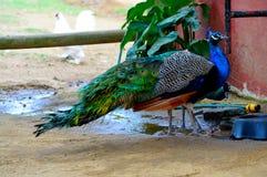 Um homem e uma água fêmea da bebida do pavão Imagens de Stock