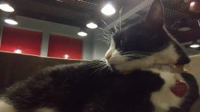 Um homem está fazendo um gato que prepara no escritório e o gato aggressing video estoque