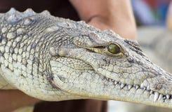 Um homem guarda um crocodilo Imagem de Stock