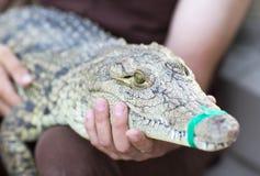 Um homem guarda um crocodilo Foto de Stock Royalty Free