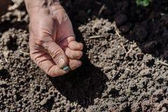 Um homem idoso que planta sementes no jardim Imagem de Stock Royalty Free