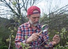 Um homem inspeciona a filial de árvore da maçã imagens de stock
