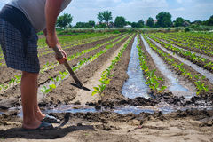 Um homem molhou um jardim no país, importando-se com a planta Fotos de Stock
